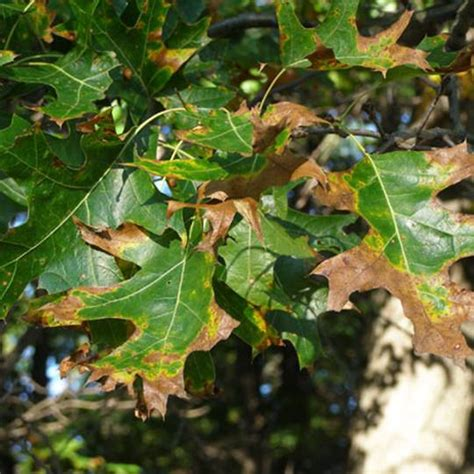Galerry texas live oak tree diseases Page 2