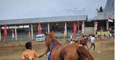 Gambar Foto Hewan Foto Kuda Pacuan Sumba