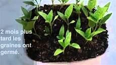 plant de poivron faire pousser des graines de poivron