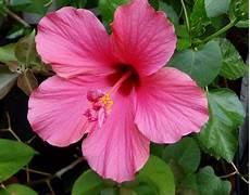 Hibiskus Pflege Zimmerpflanze - zimmerpflanzen tipps zur pflege flowercompany