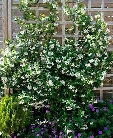 piante da davanzale gelsomino ricante giardinaggio piante ricanti