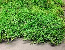 decoflorales 174 konserviertes moos plattenmoos flachmoos