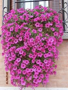 fiori a cascata fiori da balcone pieno sole a cascata con fiori da balcone