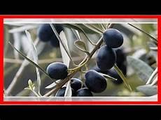 olivenbaum schneiden zeitpunkt und schritt f 252 r schritt