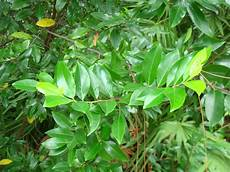 cherry laurel for sale largo and st petersburg
