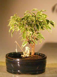 bonsai ficus benjamini ficus bonsai tree variegatedwater land container small
