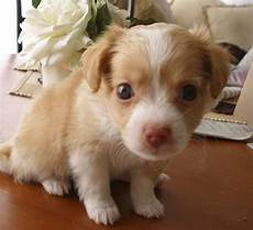 chihuahua mix welpen cheenese havanese x chihuahua mix info puppies pictures