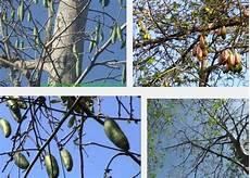 Pohon Randu Klasifikasi Morfologi Dan Manfaat Pohon