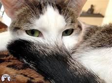 des astuces anti poils de chats absolument chats