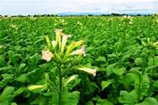 tabak selber anbauen n 252 tzliche informationen