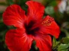 der perfekte hibiskus standort pflege und standorttips