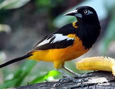 turpial dibujos turpial venezuelan national bird aves aves de traspatio aves pajaros