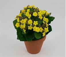 künstliche blumen für draußen kalanchoe 22cm gelb im topf lm kunstpflanzen k 252 nstliche