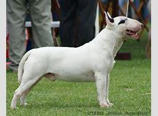 Veja fotos de filhotes de Bull Terrier e de cães adultos.