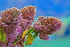 wann werden hortensien geschnitten hortensien schneiden pflege pflanzen d 252 ngen schnitt