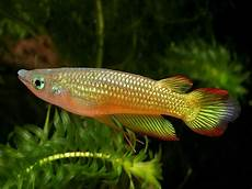 Mengenal Sosok Si Ikan Sawah Ikan Kepala Timah Jitunews