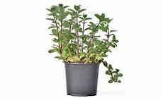 menta in vaso pianta di menta cioccolato in vaso 14 savini vivai di