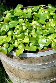 plante d eau jacinthe d eau planter et cultiver ooreka
