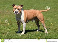 Alter American Staffordshire Terrier Stockbild   Bild von