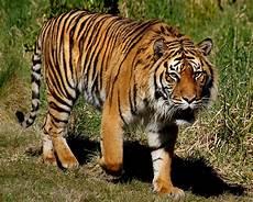 sumatran tiger sumatran tigers are the smallest