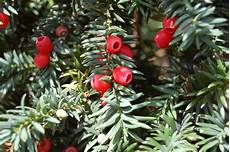 Eibe Taxus Baccata - taxus baccata landscape architect s pages