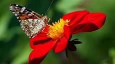 Hd Hintergrundbilder Schmetterling Blume Dahlie Desktop