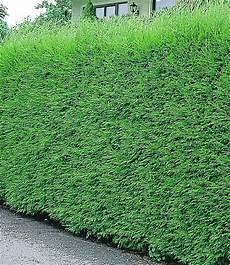 Schnellwachsende Hecke Immergrün - leyland zypressen hecke garten hecke pflanzen