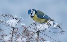 Blaumeise Im Winter Foto Bild Tiere Wildlife