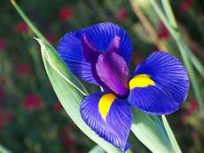 fiori e flower homes iris flowers