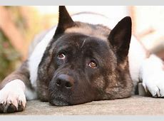 The American Akita: A Dog With an Unfortunate Bad Rap