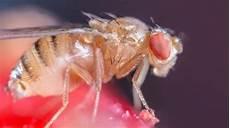 insekt an fauligem obst was hilft gegen fruchtfliegen