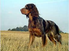 Epagneul Picard   Hond te KoopHond te Koop