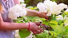 wie schneidet hortensien hortensien schneiden wann und wie es klappt brigitte de