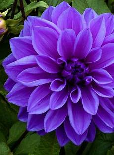 blume lila die lila blumen sind symbol der weiblichkeit archzine net
