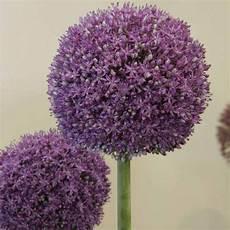 Allium Ambassador Ail D Ornement G 233 Ant 224 Grosses Fleurs