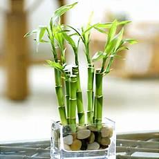bambou en vase river rock lucky bamboo with vase walmart