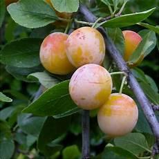 Prunier Mirabelle De Nancy Prunus Domestica Plantes Et