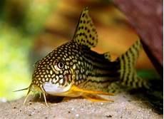 Makanan Ikan Hias Corydoras 24 jenis ikan hias yang dapat di pelihara di rumah