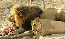 Menilik Makanan Favorit Binatang Singa Ragam Dunia Hewan