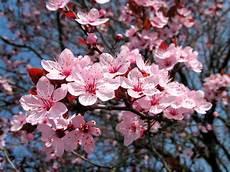Cerisier Japonais Prunus Serrulata Le Cerisier Du Japon