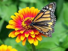 monarch butterfly on flower free stock photo