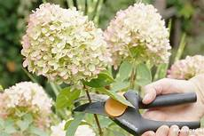Hydrangea Paniculata Limelight Macrophylla Pruning And