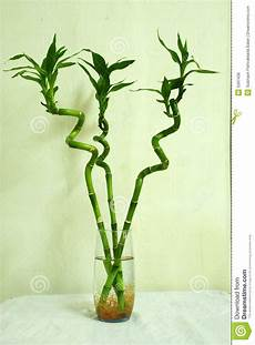 lucky bamboo trees in a glass stock photo image 5397436
