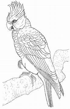 papagei zum ausmalen und drucken malvorlagen