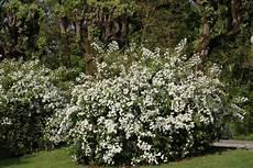 viburnum tinus winterhart viburnum tinus immergr 252 ner schneeball 187 alle infos