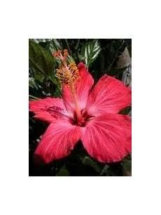 flor cayena del estado trujillo eco vivero tempe especies que podemos encontrar alli