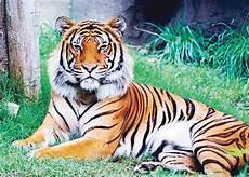 Harimau Betina Bunuh Pasangan Gara Gara Cemburu Manmala