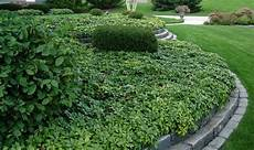 plante couvre sol persistant plantes couvre sol 224 croissance rapide dans le jardin moderne