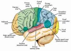 Anatomi Otak Dan Fungsinya