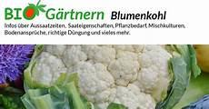 blumenkohl pflanzen abstand blumenkohl biologisch anbauen